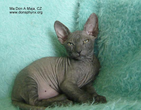 Black don sphynx kitten