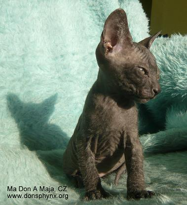 Don Sphynx kitten, black, male