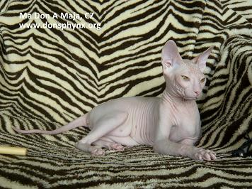 Don Sphynx Cat, red tabby with white