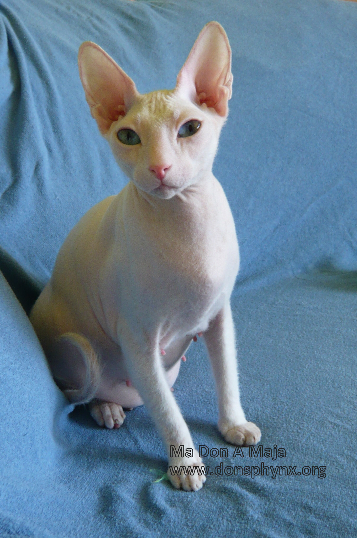 white don sphynx russian hairless cat