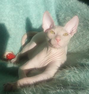 don sphynx kitten, white colour