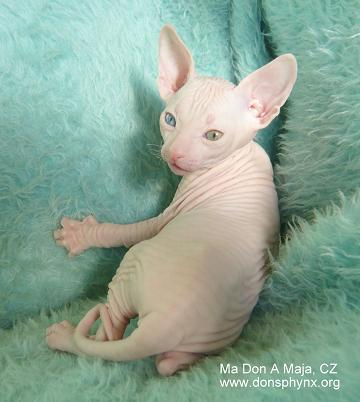 Don Sphynx kitten, male, 5 weeks, white, odd eyed