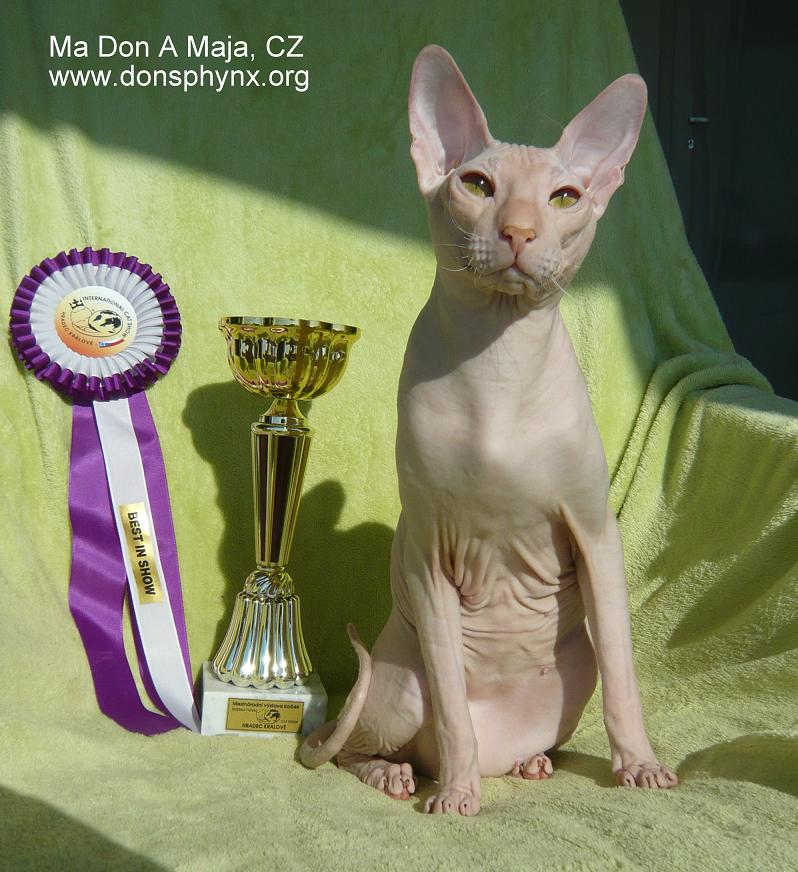 red don sphynx male - hairless, bald , naked